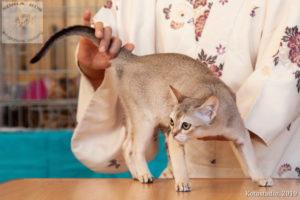 Сингапурский котенок Singa RUS Hanley