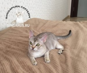 Singa RUS Qwillera